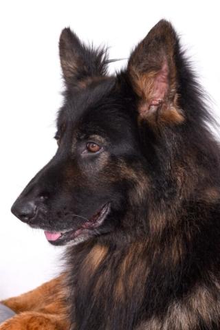 Hundeshooting Lippstadt Schäferhund